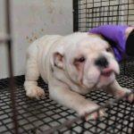 Bulldog Puppies Puppy Find