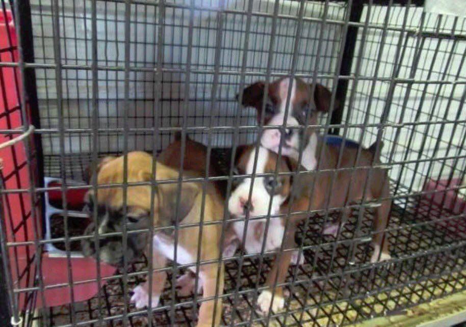 puppy find boxer puppies