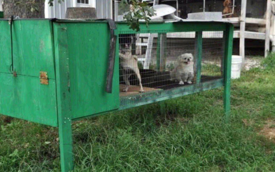 puppy spot pekingese puppies