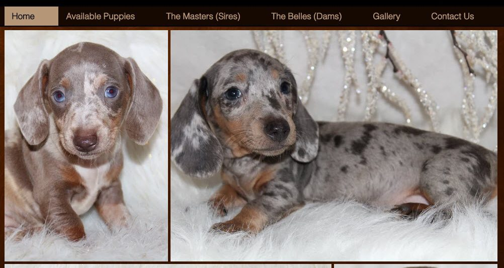 Tennessee puppy mill breeder selling puppies on PuppyFind.com